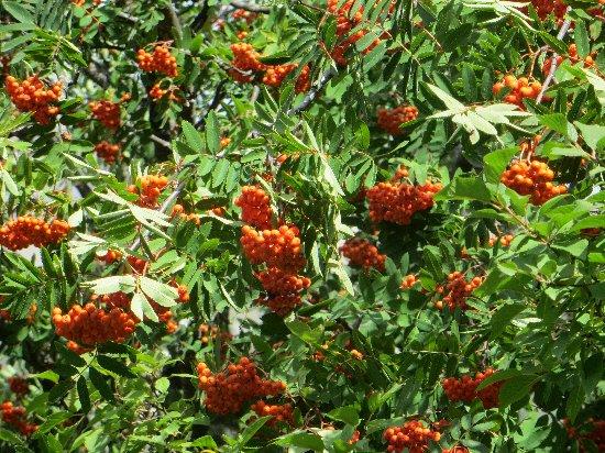 Sorbus aucuparia - sorbier des oiseleurs - cultivars et hybrides Septem13