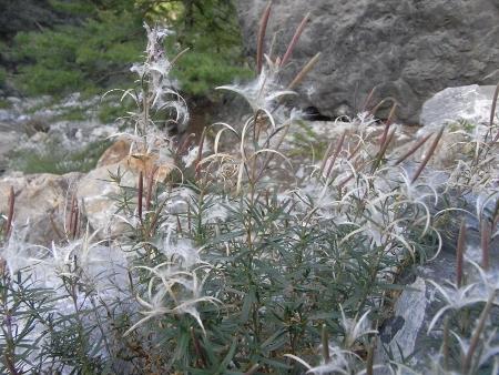 Epilobium angustifolium - épilobe à feuilles étroites, épilobe en épis Septem16