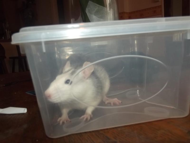 Ratons sortis de nul part ! Recherche ratouphile sur Gournay en Bray ! - Page 5 Dscf4710