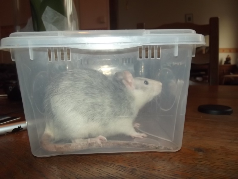 Ratons sortis de nul part ! Recherche ratouphile sur Gournay en Bray ! - Page 5 Dscf4711