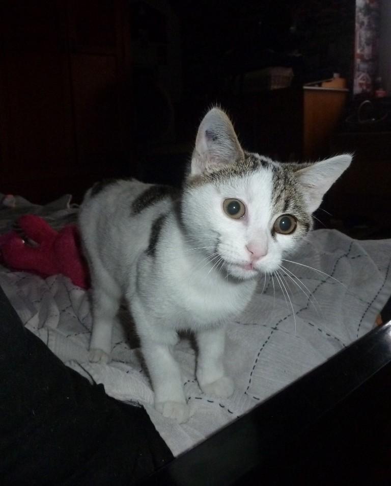 Justy, chaton mâle blanc et gris né le 10/06/2014 P1090410