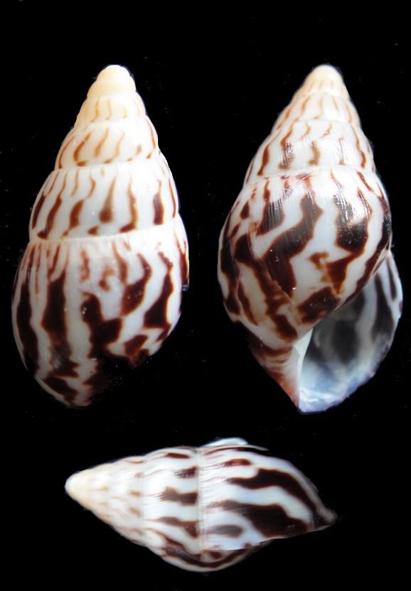 Limicolaria numidica (Reeve, 1848) Achati12
