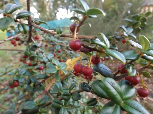 Fuchsia procumbens, Ugni molinae, Schlumbergera - fruits [devinette] 01511