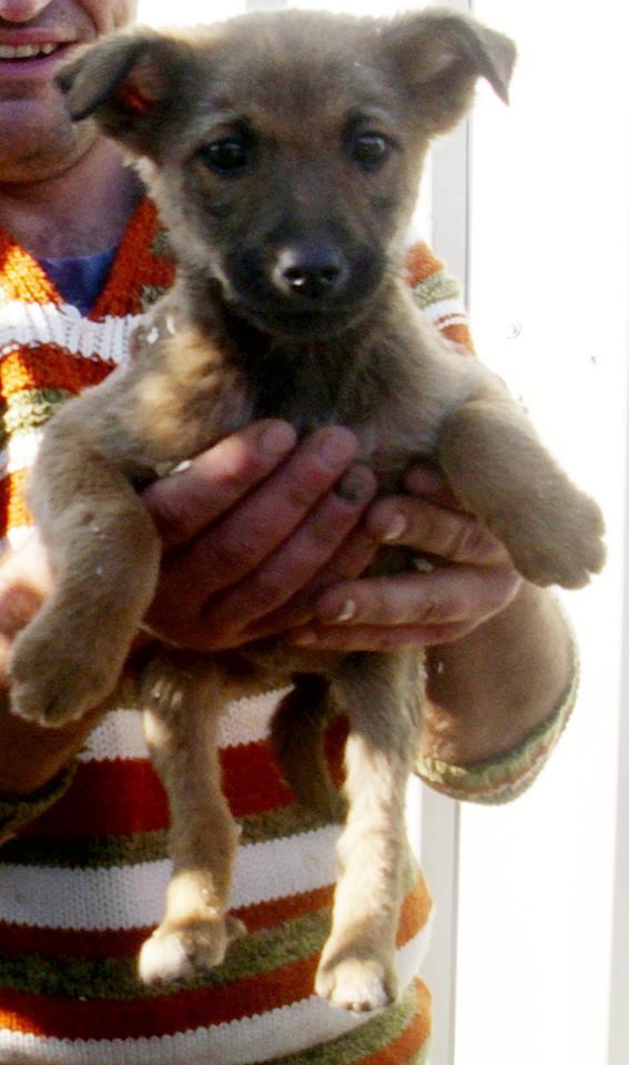 RUBIS, chiot femelle x berger, née env août 2014 (Pascani) - adoptée par Déborah (dpt13) -.décédée Rubis10
