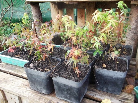 la passion du bonsai - Page 6 Nov_2011
