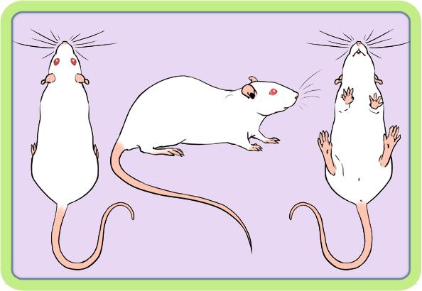 [GÉNÉTIQUE]  Marquages et dilutions du rat domestique Albino10