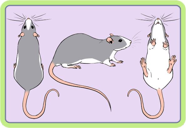 [GÉNÉTIQUE]  Marquages et dilutions du rat domestique Badger10