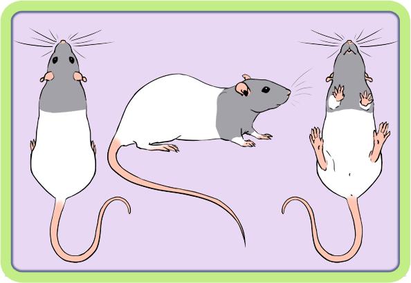 [GÉNÉTIQUE]  Marquages et dilutions du rat domestique Bareba10