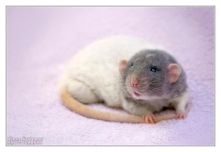 [GÉNÉTIQUE]  Marquages et dilutions du rat domestique Bareba11