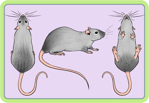 [GÉNÉTIQUE]  Marquages et dilutions du rat domestique Bed10