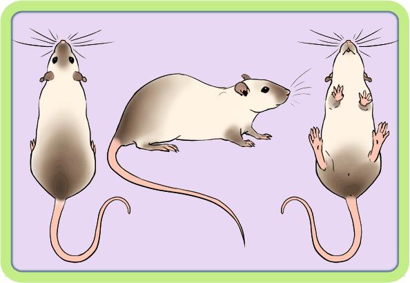 [GÉNÉTIQUE]  Marquages et dilutions du rat domestique - Page 2 Beg10