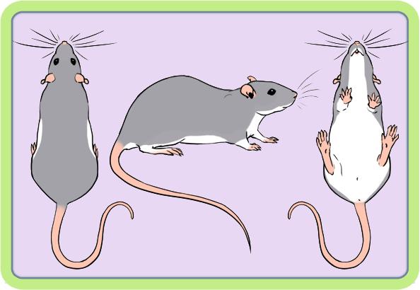[GÉNÉTIQUE]  Marquages et dilutions du rat domestique Berksh10