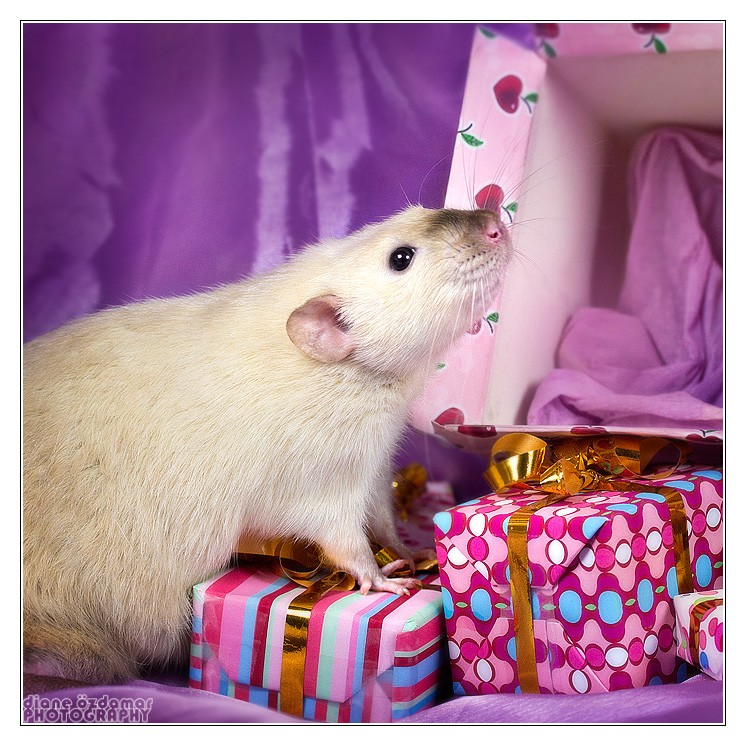 [GÉNÉTIQUE]  Marquages et dilutions du rat domestique - Page 2 Bes_rl10
