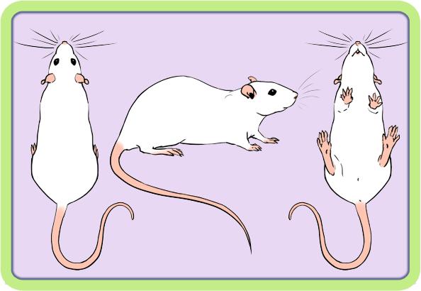 [GÉNÉTIQUE]  Marquages et dilutions du rat domestique Bew10