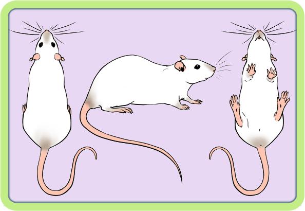 [GÉNÉTIQUE]  Marquages et dilutions du rat domestique - Page 2 Bhe10