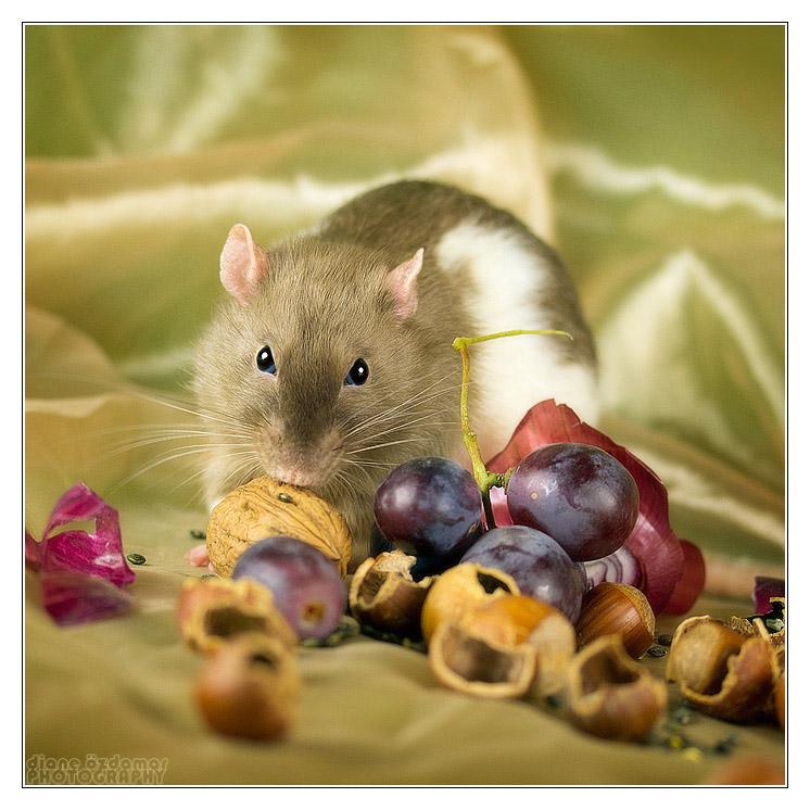 [GÉNÉTIQUE]  Marquages et dilutions du rat domestique - Page 2 Burmes10