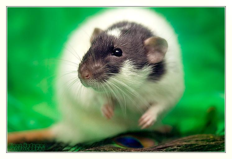 [GÉNÉTIQUE]  Marquages et dilutions du rat domestique Cape_a10