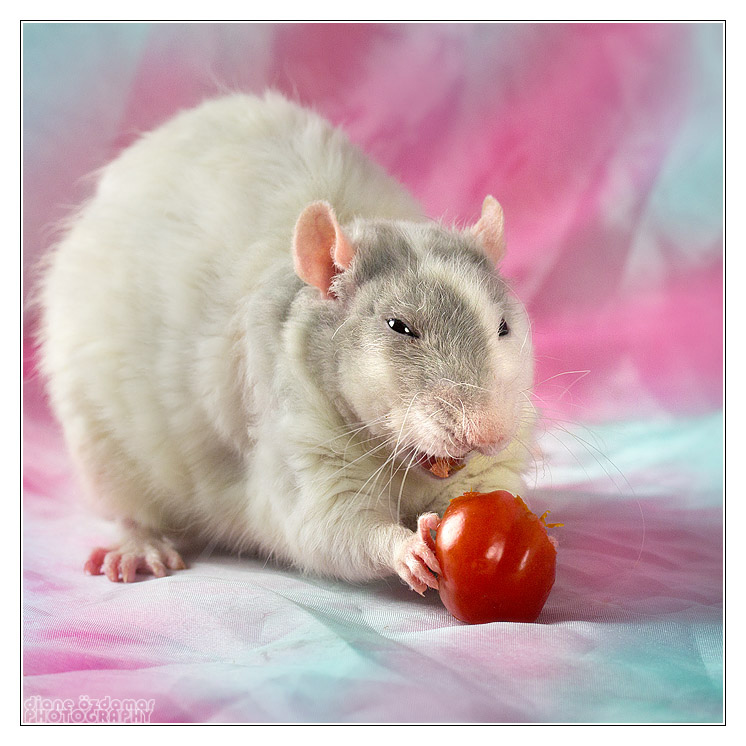 [GÉNÉTIQUE]  Marquages et dilutions du rat domestique Cape_b10
