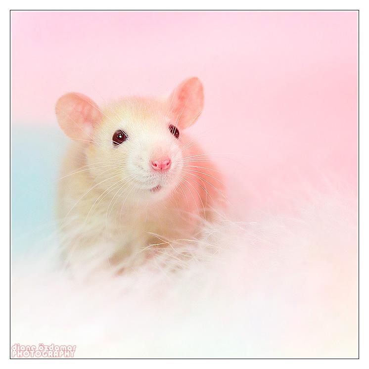 [GÉNÉTIQUE]  Types de poil, morphologie et couleurs d'yeux du rat Darkru10