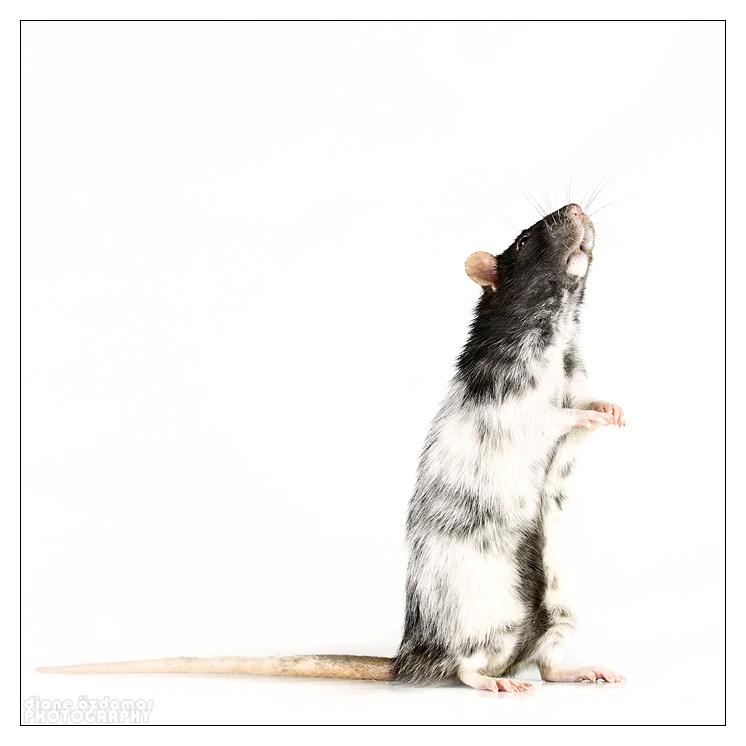 [GÉNÉTIQUE]  Marquages et dilutions du rat domestique Du_sen10