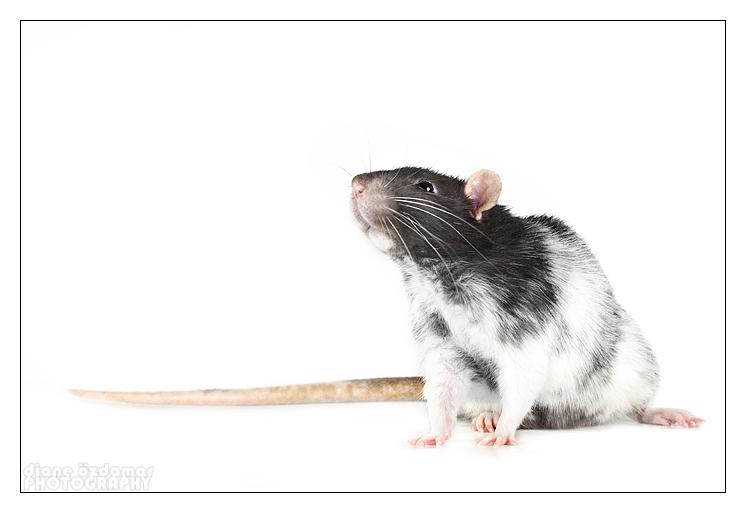 [GÉNÉTIQUE]  Marquages et dilutions du rat domestique Du_sen11
