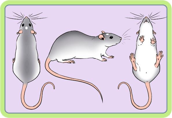 [GÉNÉTIQUE]  Marquages et dilutions du rat domestique Essex10