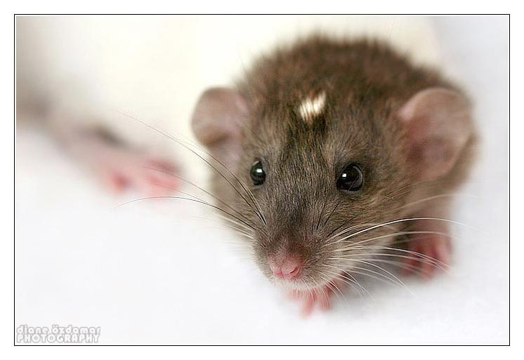 [GÉNÉTIQUE]  Marquages et dilutions du rat domestique Etoile11