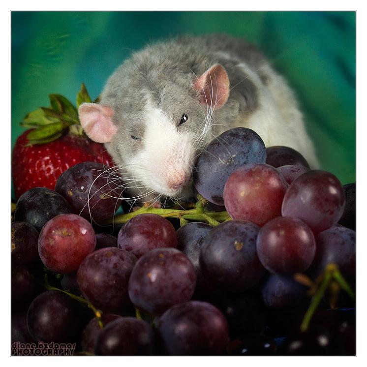 [GÉNÉTIQUE]  Marquages et dilutions du rat domestique Fleche10