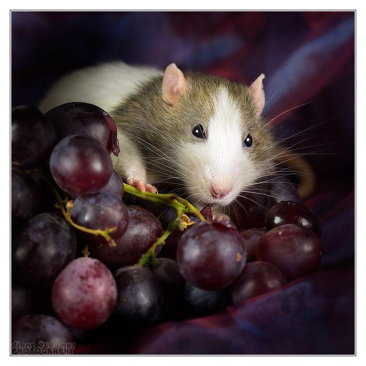 [GÉNÉTIQUE]  Marquages et dilutions du rat domestique Fleche11
