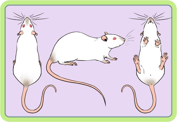 [GÉNÉTIQUE]  Marquages et dilutions du rat domestique - Page 2 Hima10