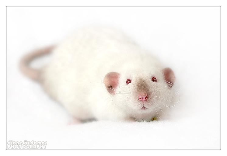 [GÉNÉTIQUE]  Marquages et dilutions du rat domestique - Page 2 Hima_h10