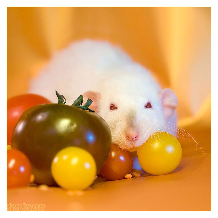 [GÉNÉTIQUE]  Marquages et dilutions du rat domestique - Page 2 Himase10
