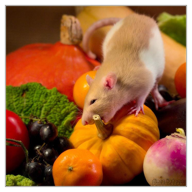 [GÉNÉTIQUE]  Marquages et dilutions du rat domestique Hooded10