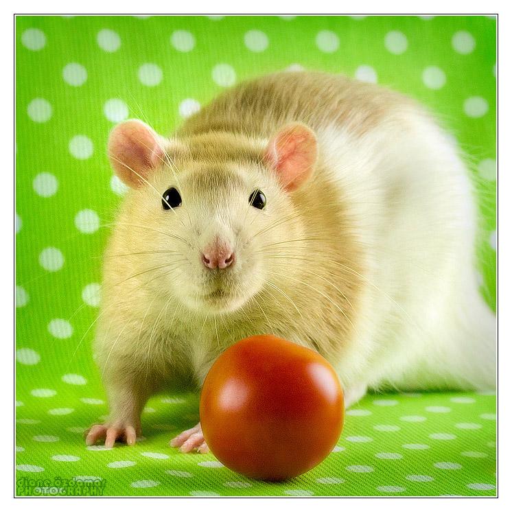 [GÉNÉTIQUE]  Marquages et dilutions du rat domestique Hooded11