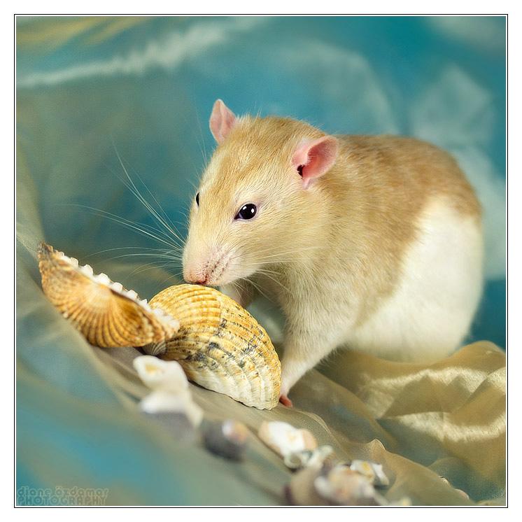 [GÉNÉTIQUE]  Marquages et dilutions du rat domestique Hooded12
