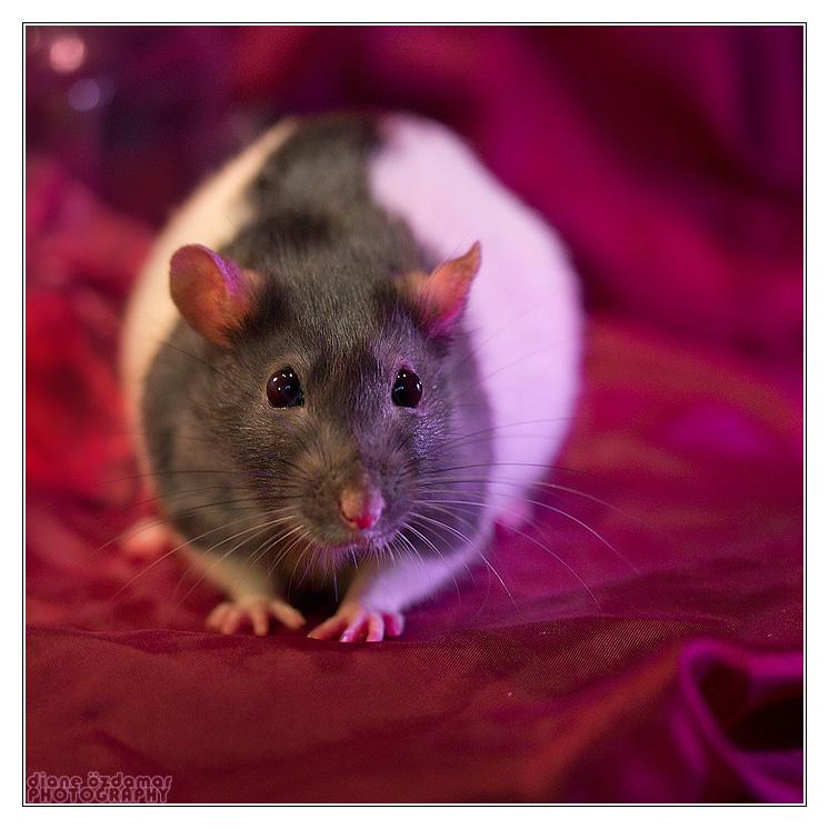 [GÉNÉTIQUE]  Marquages et dilutions du rat domestique Hooded13