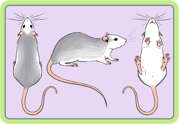 [GÉNÉTIQUE]  Marquages et dilutions du rat domestique Husky10