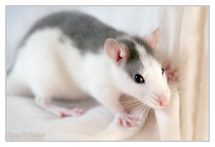 [GÉNÉTIQUE]  Marquages et dilutions du rat domestique Husky_10