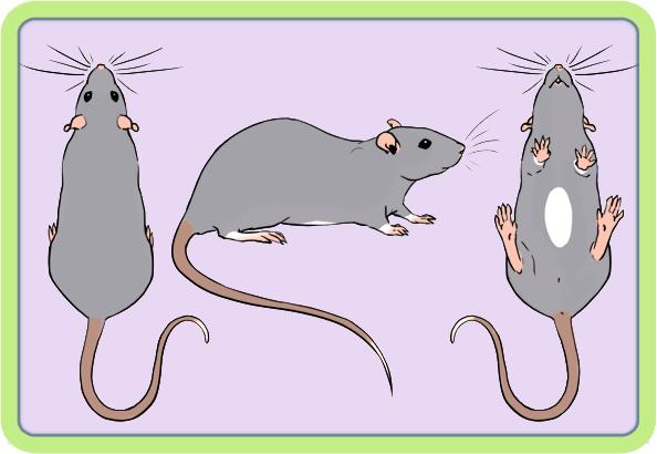 [GÉNÉTIQUE]  Marquages et dilutions du rat domestique Irish10