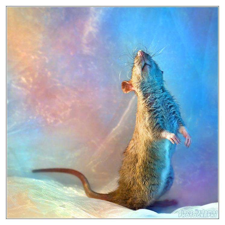 [GÉNÉTIQUE]  Marquages et dilutions du rat domestique Irish_10