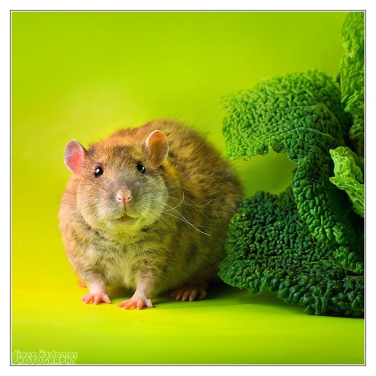 [GÉNÉTIQUE]  Types de poil, morphologie et couleurs d'yeux du rat Noirsf10