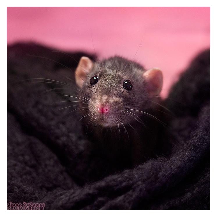 [GÉNÉTIQUE]  Types de poil, morphologie et couleurs d'yeux du rat Noirss10
