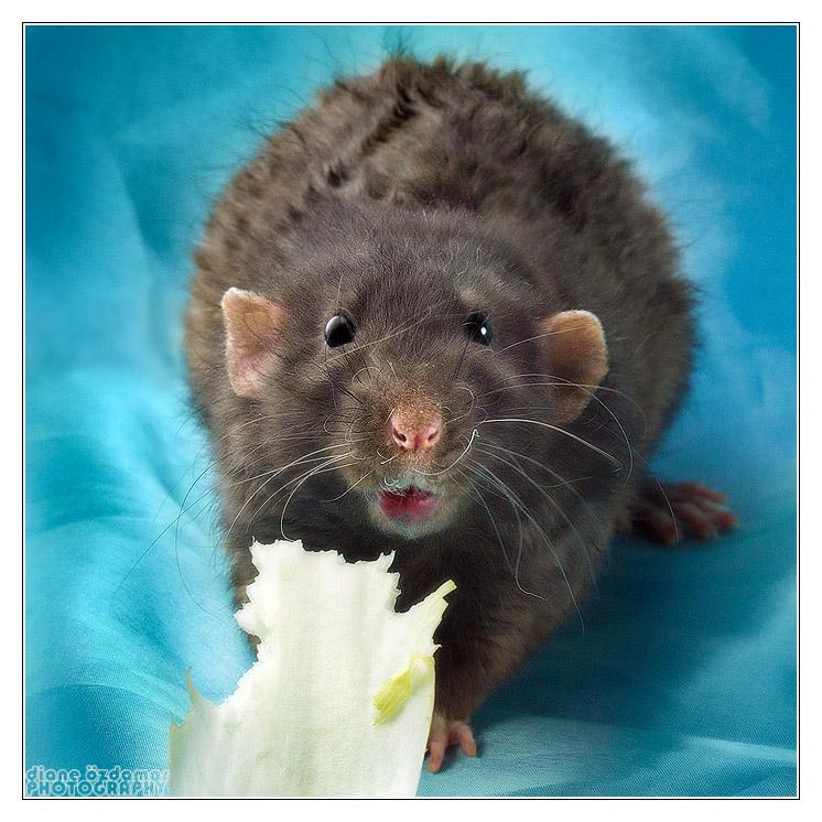 [GÉNÉTIQUE]  Types de poil, morphologie et couleurs d'yeux du rat Noirss11