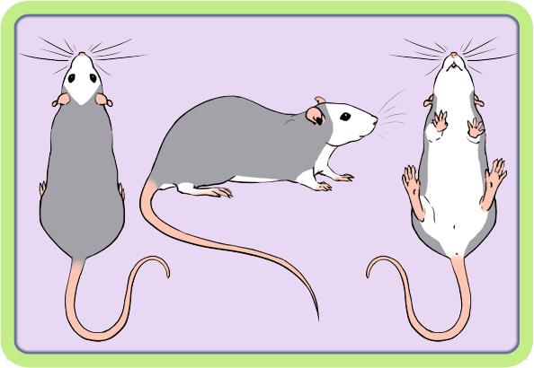 [GÉNÉTIQUE]  Marquages et dilutions du rat domestique Opossu10
