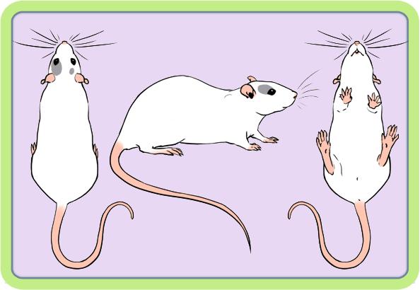 [GÉNÉTIQUE]  Marquages et dilutions du rat domestique Patche10