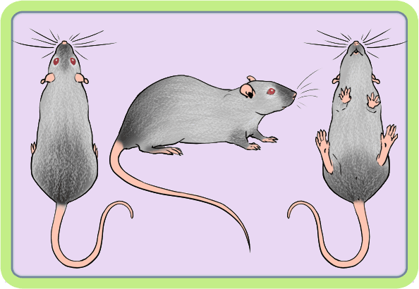 [GÉNÉTIQUE]  Marquages et dilutions du rat domestique - Page 2 Redevi10