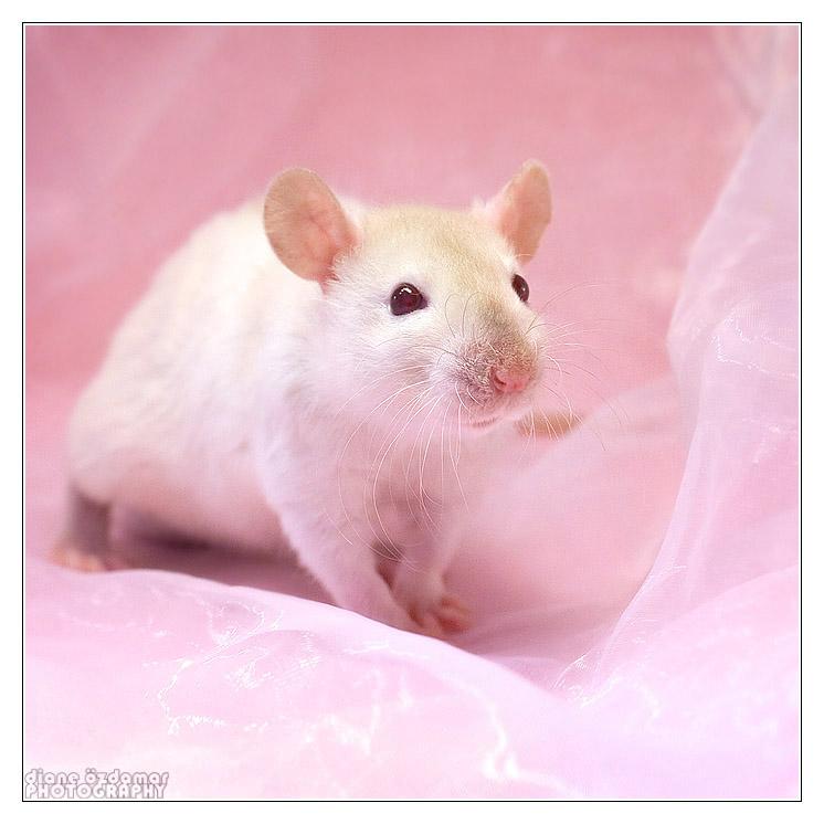 [GÉNÉTIQUE]  Types de poil, morphologie et couleurs d'yeux du rat Rubisl10