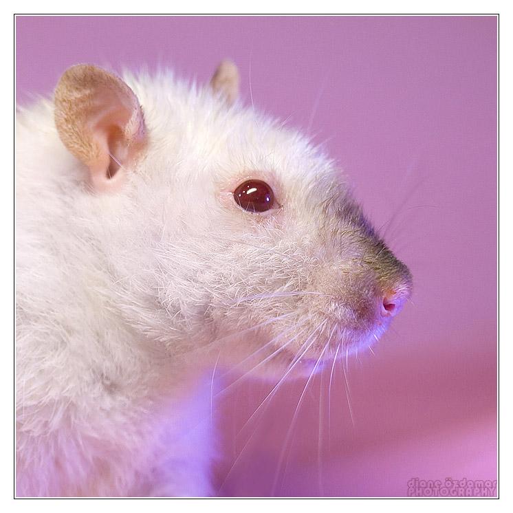 [GÉNÉTIQUE]  Types de poil, morphologie et couleurs d'yeux du rat Rubiso10
