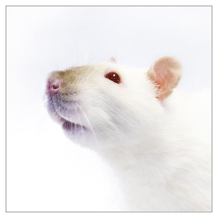 [GÉNÉTIQUE]  Types de poil, morphologie et couleurs d'yeux du rat Rubiso11