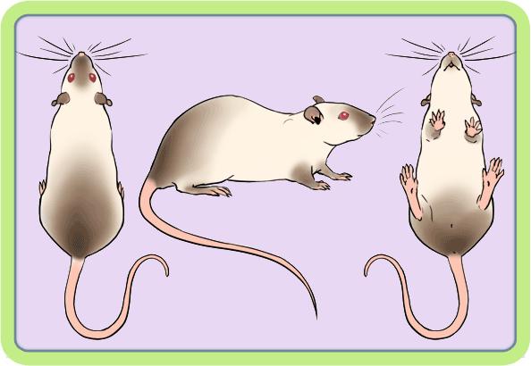[GÉNÉTIQUE]  Marquages et dilutions du rat domestique - Page 2 Siam10
